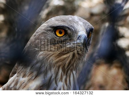 A Short-Toed Snake Eagle looks through fence