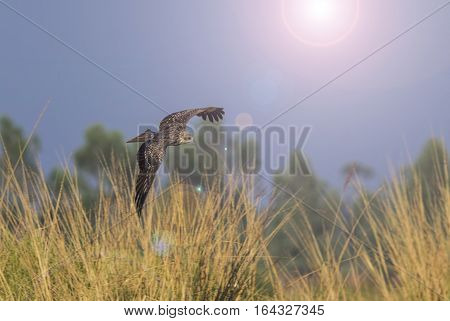 Black kite Pariah kite Living under the flight fields