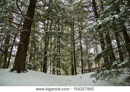 Walking In A Winter Wonderland. Fresh snow covers a lush green pine forest in northern Michigan.