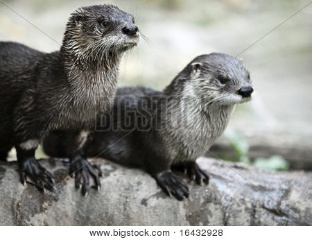 Otter - the cutest european mammal poster