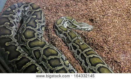 Close up of the big and colorful snakes, python