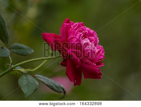Pink Rose in bloom against a green background