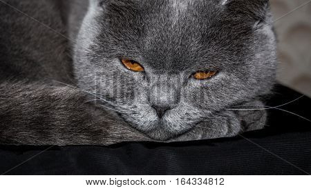 Big angry sleepy gray cat close up
