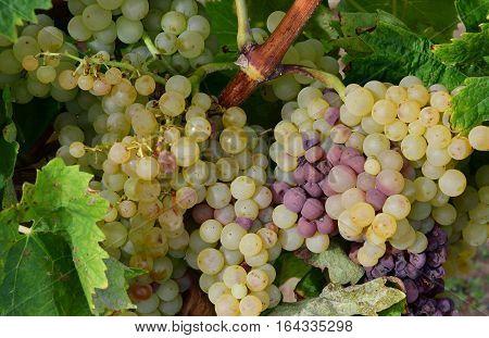 Loix France - september 26 2016 : vineyard in autumn