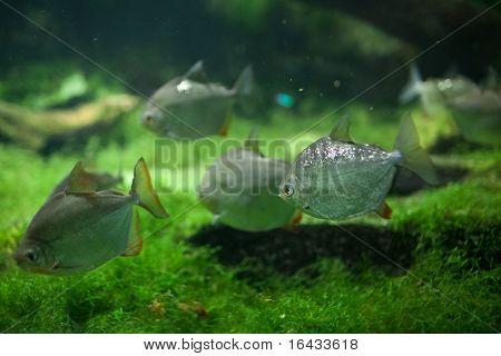 Dangerous Red-breasted Piranha (Serrasalmus Nattereri) poster