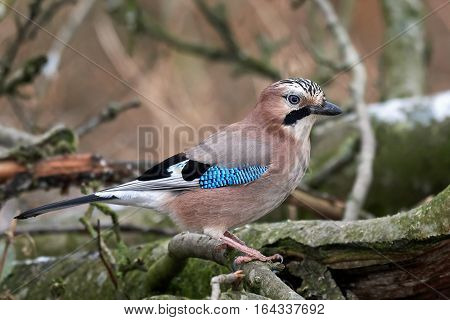 Eurasian jay (Garrulus glandarius) sitting on a branch in its habitat