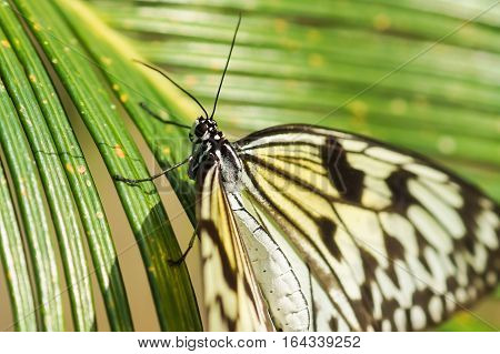 Daily tropical butterfly Idea white (Rice paper) or wood Nymph (lat. Idea leuconoe) on palm leaf