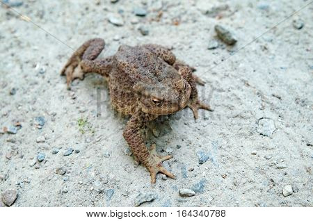 A Big old toad walking over a gravel road