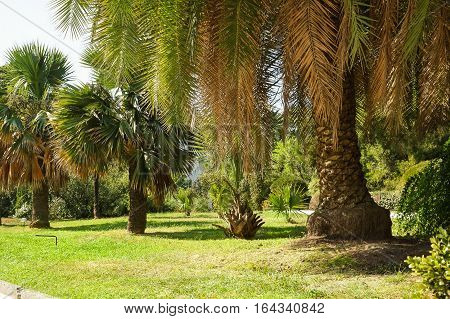 Old palm trees in subtropical Park Sunny summer day