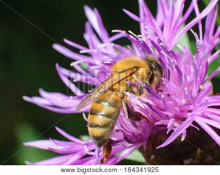 honeybee pollinated of pink flower, close-up bee on pink flower collects nectar