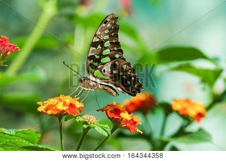 Daily tropical butterfly Graphium Agamemnon (lat. Graphium Agamemnon) on a bright flower Lantana (lat. Lantana)