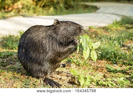 Nutria or coypu or swamp beaver (lat. Myocastor coypus) a mammal of the rodent
