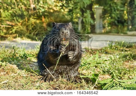 Wet Nutria or coypu or swamp beaver (lat. Myocastor coypus) a mammal of the rodent eats green leaves.