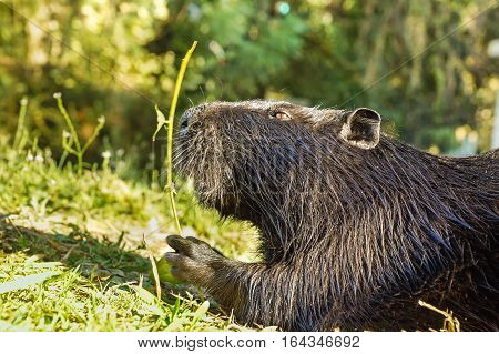 Nutria or coypu or swamp beaver (lat. Myocastor coypus) a mammal of the rodent eats green leaves. Large