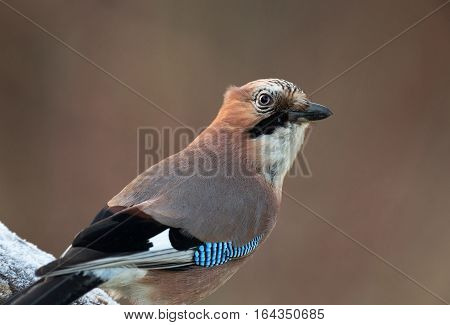 Portrait of Eurasian Jay sitting onn the branch in frosty December morning.Poland.Horizontal view.