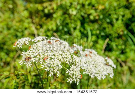 Close up of common red soldier beetles or Rhagonycha fulva and other insect on a white blossoming wild carrot or Daucus carota plant against it blurred natural habitat.