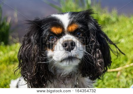 Beautiful Cavalier tricolor Cavalier King Charles Spaniel, in the outdoors