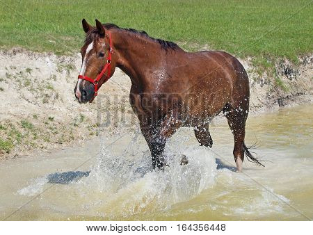Draught chestnut horse standing  in a pond