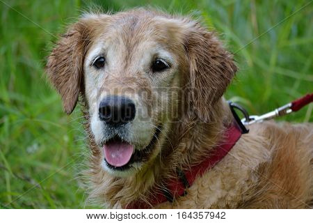 Portrait of a wet golden retriever with faithful look