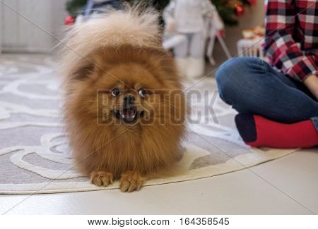 Portrait of dog breed Pomeranian on the floor in the room with the hostessnsky Spitz in the apartment