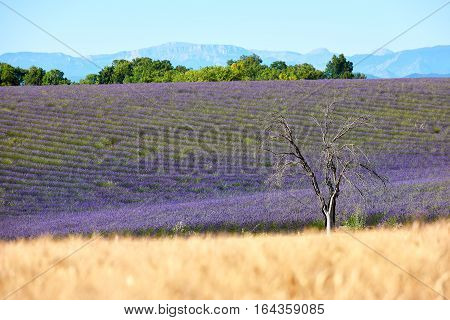 In Valensole trees a lavender field and a blue sky
