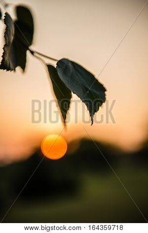 Birch branch with leaves illuminated by the sunbeams of a sunset on a blue sky background. Betula