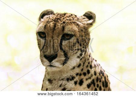 Cheetah portrait, Acinonyx jubatus, also known as the hunting leopard