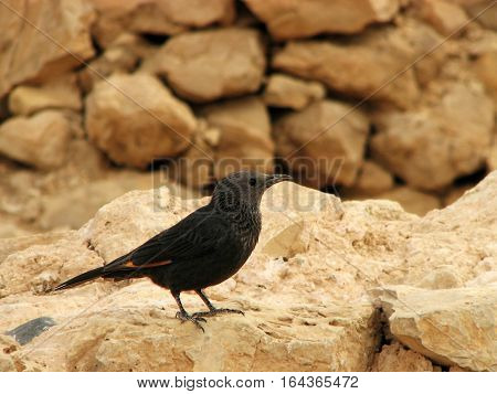 Tristram's starling songbird atop mount Masada, in the Judean desert, Israel