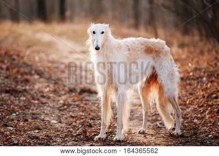 White Russian Wolfhound Dog, Borzoi, Russian Hunting, Sighthound, Russkaya Psovaya Borzaya, Psovoi. Spring Autumn Time, Outdoors Close Up Portrait . Spring Autumn Time, Outdoors