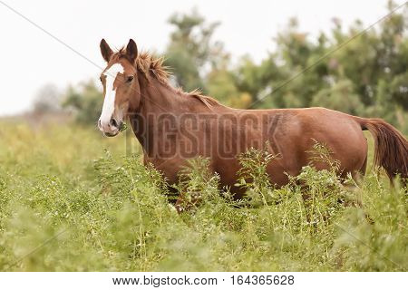 Beautiful brown horse in the green meadow.