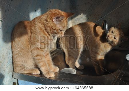 Two cats in a sink wash together in unison