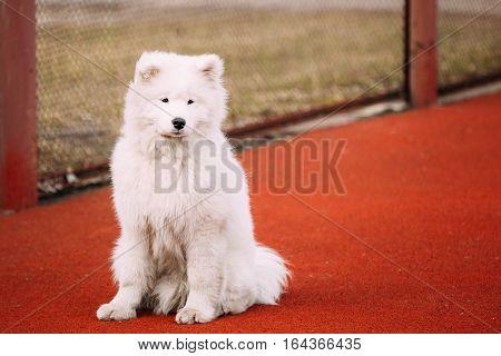 Young White Samoyed Dog Sitting On Floor Outdoor