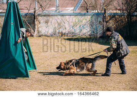Gomel, Belarus - March 27, 2016: German shepherd dog training. Biting dog. Alsatian Wolf Dog. Deutscher, dog