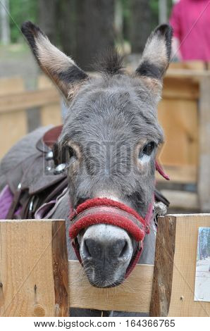 Portrait of a donkey with clever and kind eyes