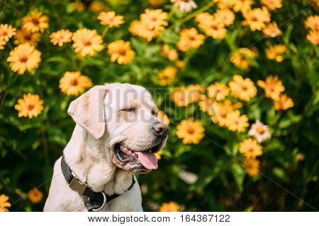 Close Up Smiling Yellow Golden Labrador Adult Female Dog With Closed Eyes In Sitting Pose On The Trimmed Lawn Of Garden. The Bright Yellow Flowers Background.