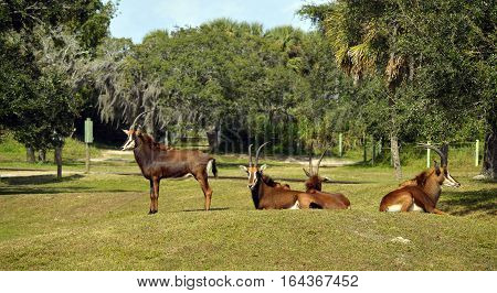 A group of Sable antelope Latin name Hippotragus niger