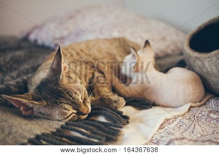 Devon Rex cat and kitten. Love and tenderness. Kitten is eating milk. Mom loves kitty cat and nurse it. Care Feeding of Queens and Kittens. Normal development and growth of kittens.