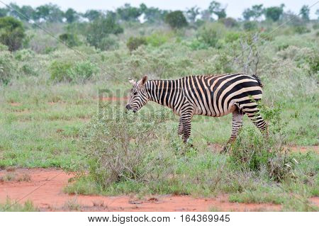 A zebra grazing in the savannah of Tsavo park is at Ken