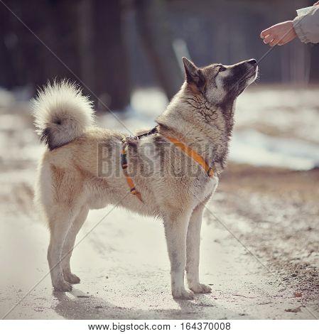 Training of a fluffy dog on walk.
