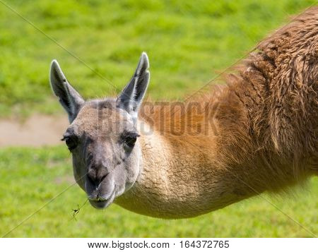 Guanaco Portrait In Spring