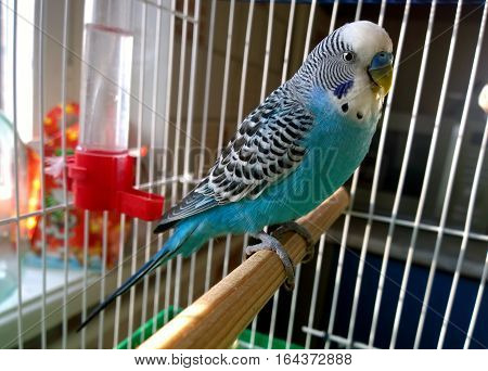 Home Wavy parrot with blue plumage sits on a perch in a cage