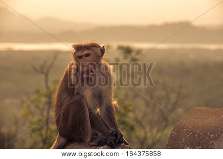 Macaque, Red or Temple monkey at the Dambulla cave temple in Sri Lanka