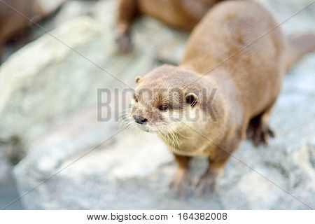 Cute standing otter closeup. Selective focus on the head.