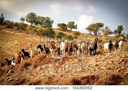 Goats Grazing on the Hill. Cyprus landscape.