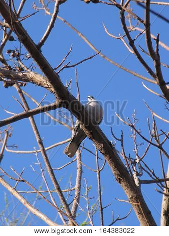 Dove Streptopelia decaocto sitting on bare tree Paulownia branch in front of blue sky, view from beneath