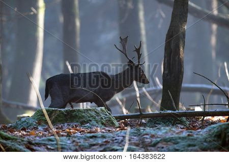 Solitary Fallow Deer Stag Walking In Forest. Side View.