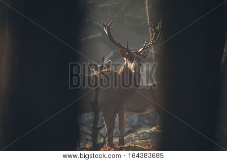 Red deer stag in misty forest with condense of breathing. poster