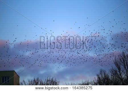 a flock of crows flying over the city