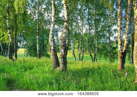 beautiful summer rural landscape with forest and meadow on sunset. birch trees