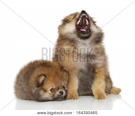 Spitz puppy yawn in front of white background